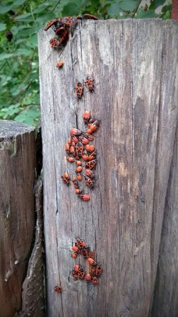 cimici-rosse-su-legno.jpg