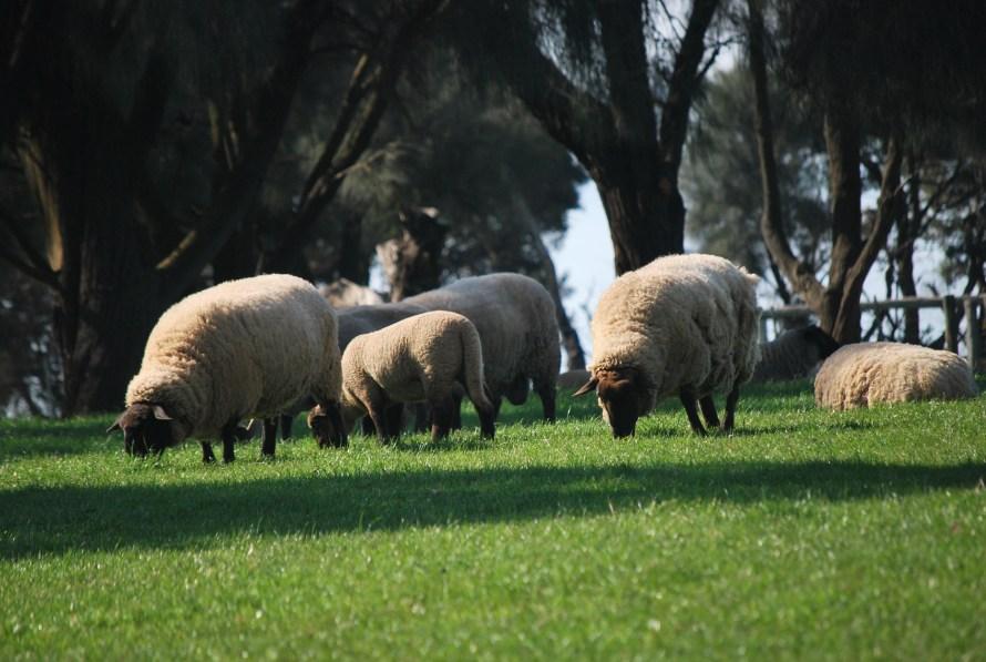 pecore che brucano il prato