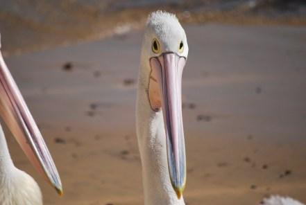 pellicano-australiano-primo-piano