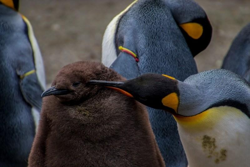 pinguini imperatore giovane e vecchio