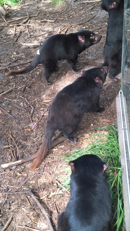 diavoli-della-tasmania-aspettano-il-cibo