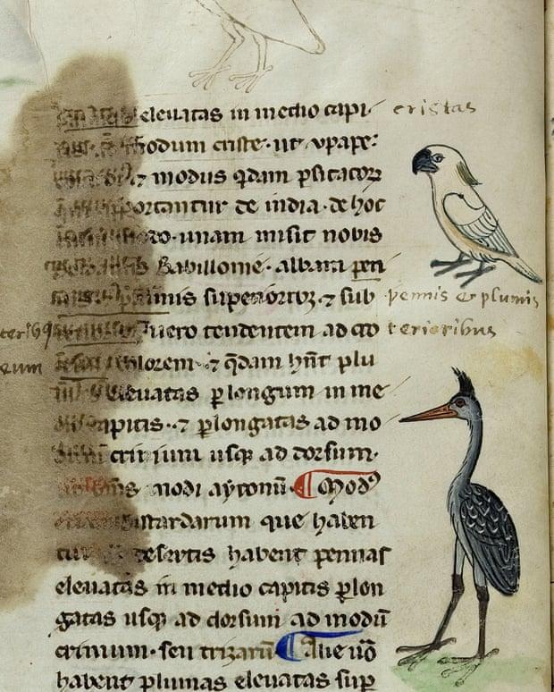 pappagallo cacatua bianco su manoscritto medievale