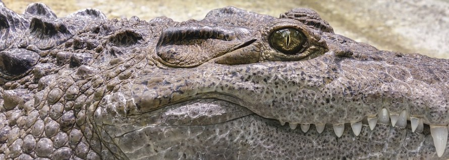 coccodrillo-profilo-primo-piano