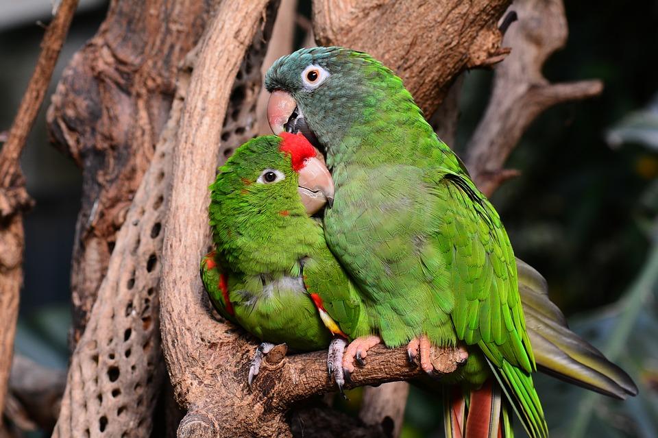 coppia di pappagallini innamorati