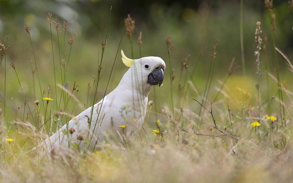 pappagallo cacatua bianco con crestina all'indietro nel prato