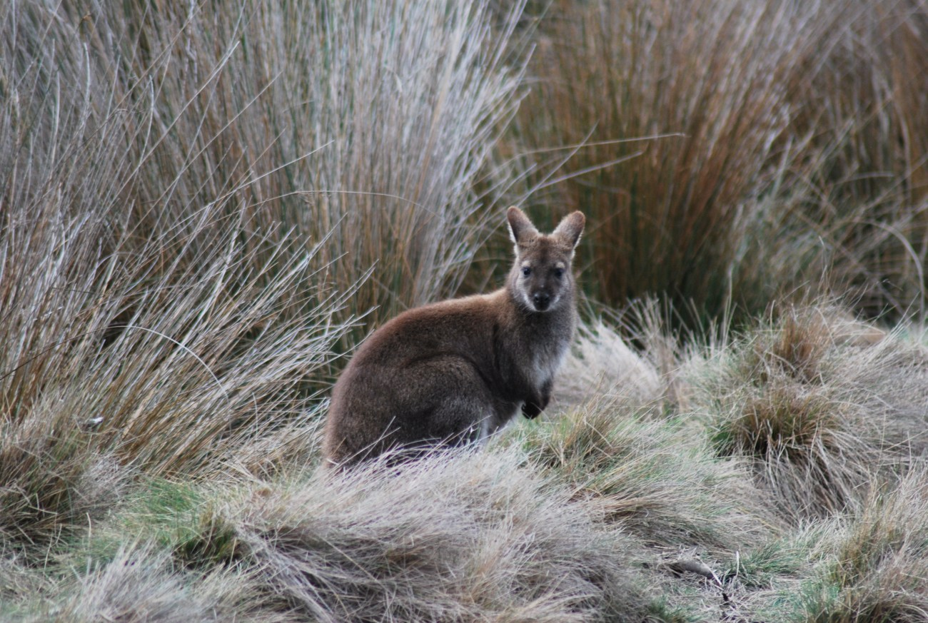 wallaby tra le spighe