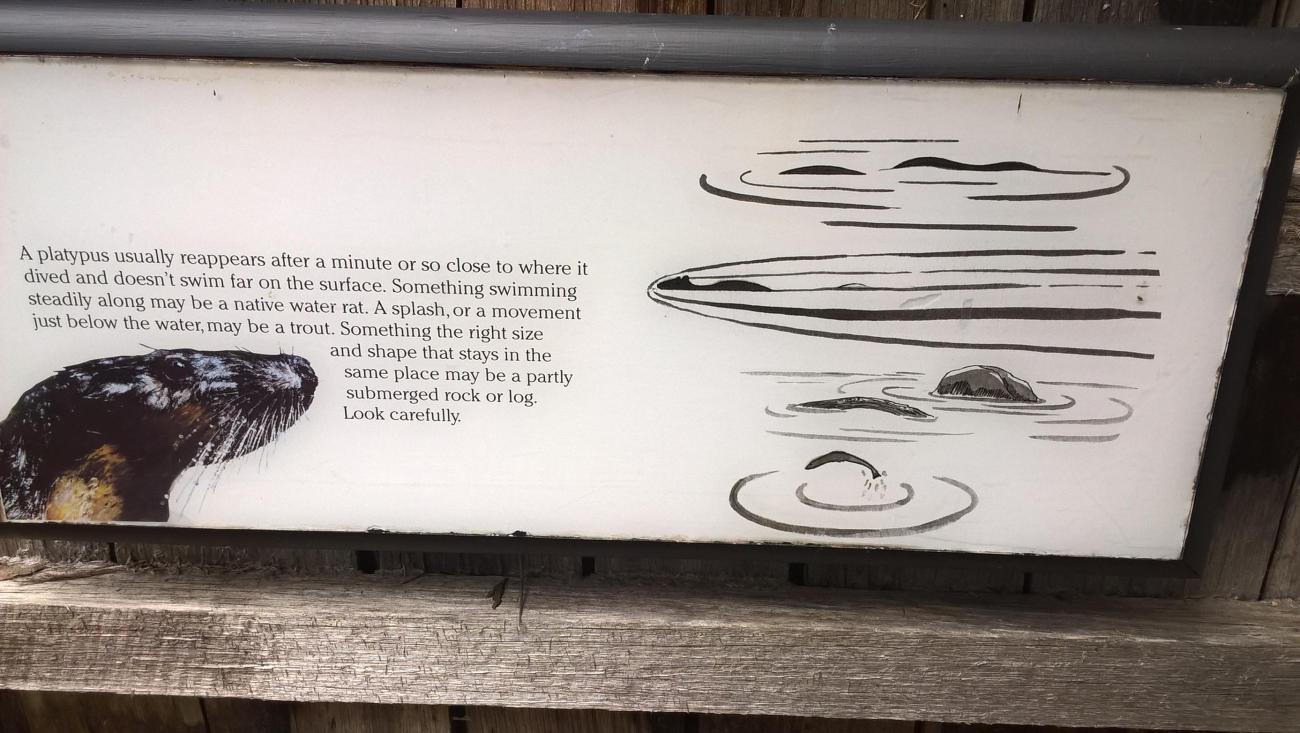 come trovare un ornitorinco nell'acqua