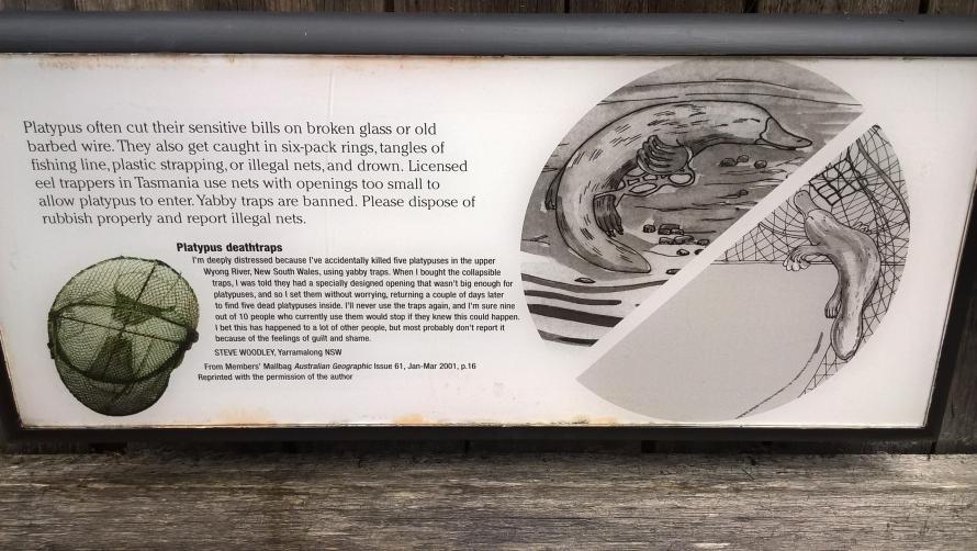 ornitorinco rischi e trappole dell'inquinamento dei fiumi