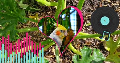 calopsitta, amore, orto e musica