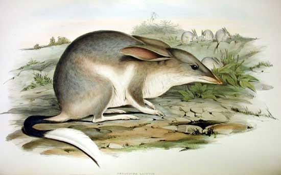 disegno di un bilby da mammals of australia john gould 1863
