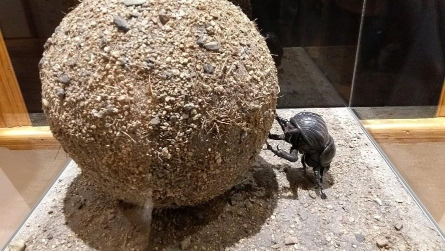 Palla di cacca gigante trasportata dallo scarabeo stercorario (riproduzione ingrandita)