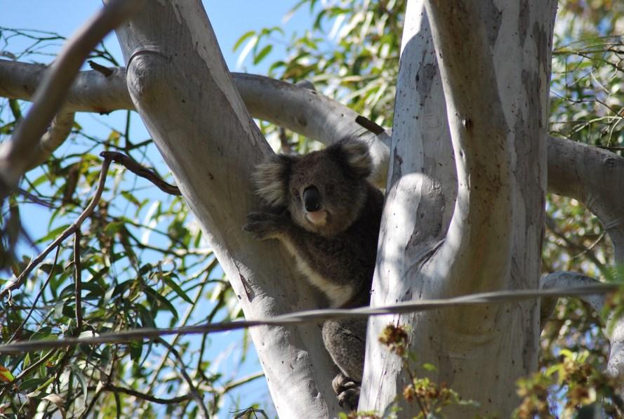 Koala che guarda dall'albero con cavo elettrico