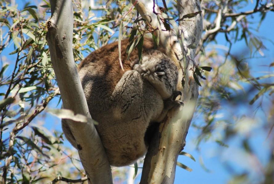 koala appallottolato che dorme tra due rami di eucalipto