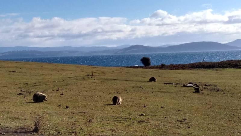 Maria Island, Tasmania: vombati in riva al mare