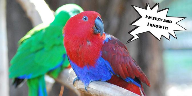 elenco pappagalli australiani - ecletto, re. principessa Alessandra