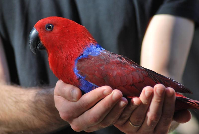 pappagallo ecletto femmina di profilo tenuta in mano
