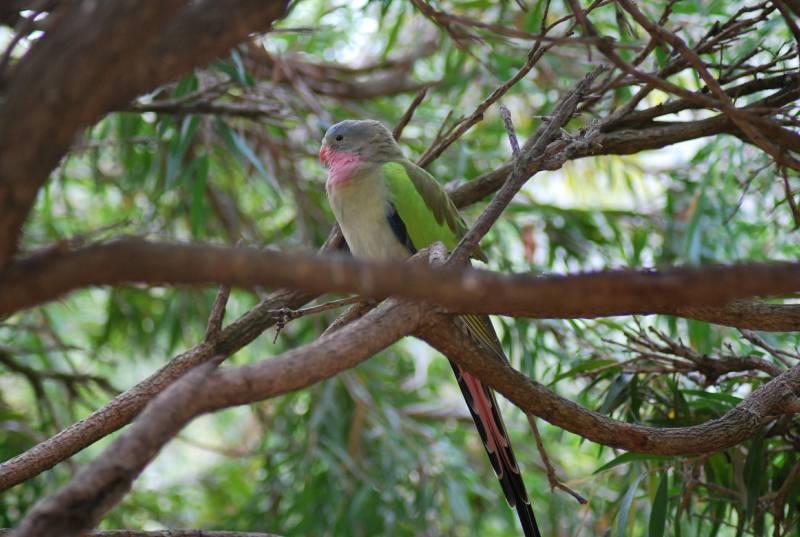 pappagallo della principessa Alessandra tra i rami