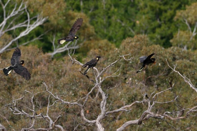 Cacatua neri dalla coda gialla che volano tra i rami
