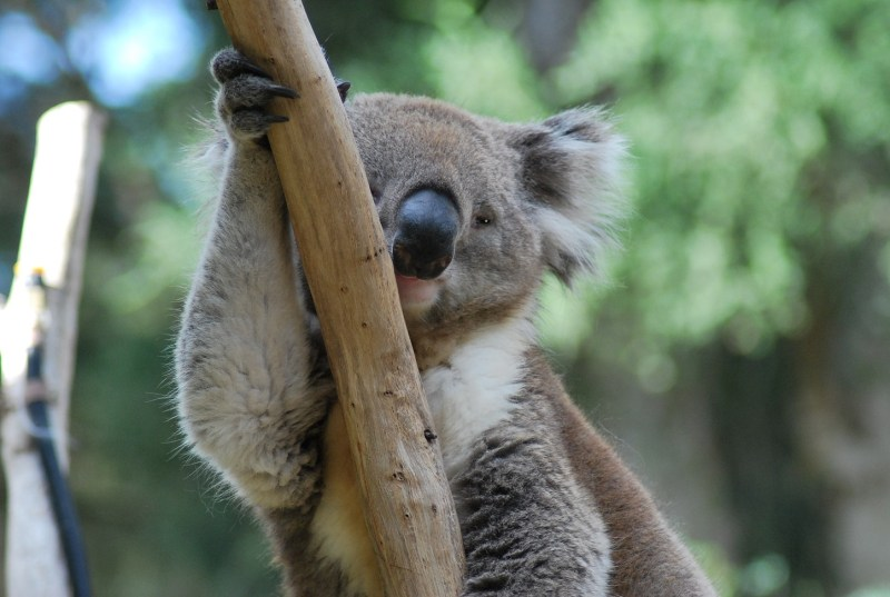 koala aggrappato a un ramo con l'aria stanca