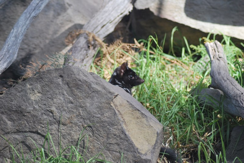 testa del quoll orientale da dietro una roccia