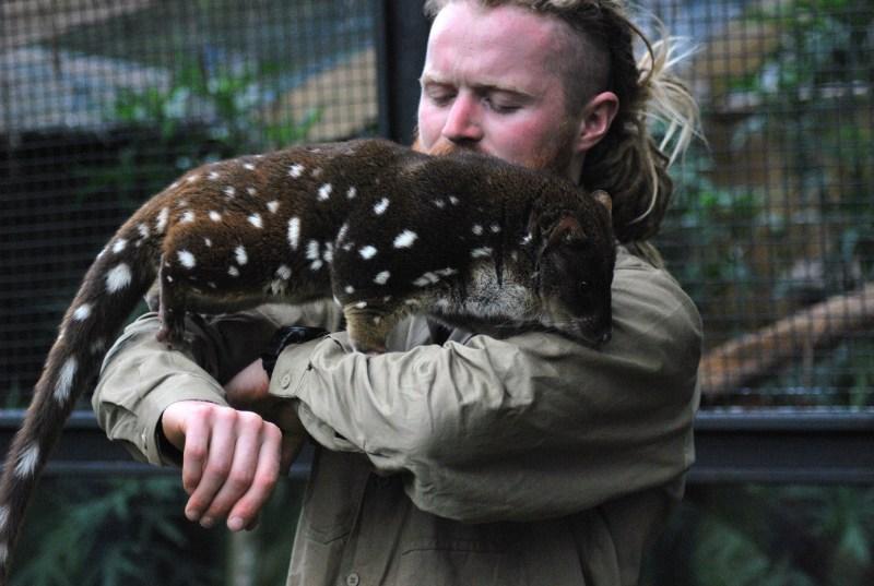 quoll tigre marrone con coda maculata, in braccio al guardiano