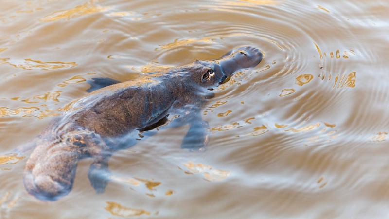 ornitorinco che nuota