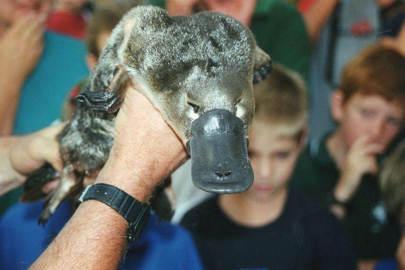 ornitorinco mostrato al pubblico da uno zoologo