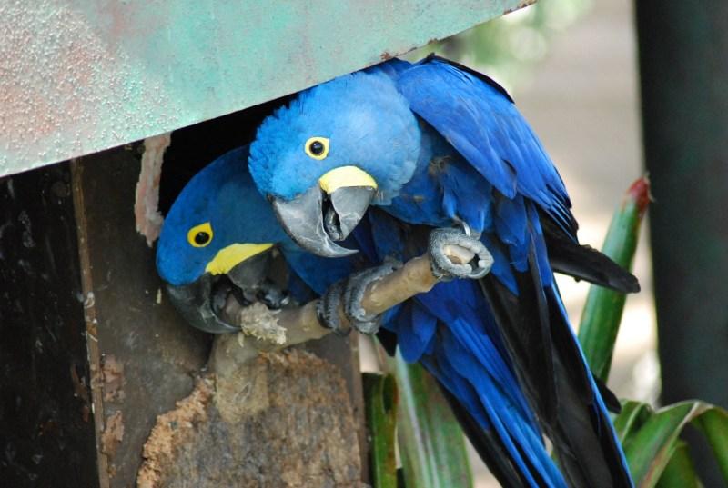 coppia di pappagalli blu: are di spix a The Green Planet Dubai