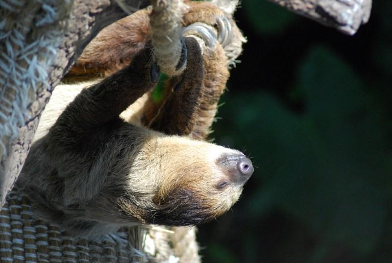 bradipo che prende il sole a testa in giù