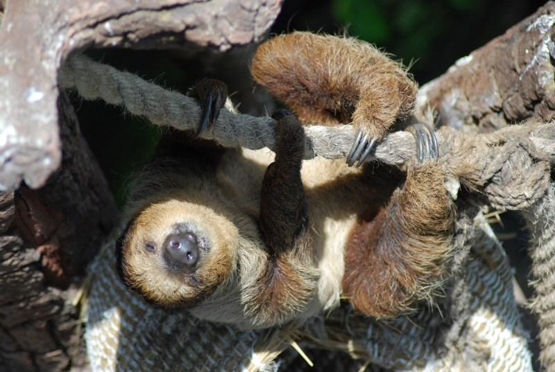 bradipo appeso a una corda a The Green Planet Dubai