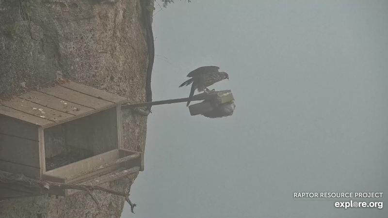 webcam animali in diretta: falco sulla telecamera!