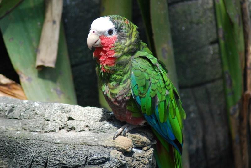 pappagallo delle amazzoni