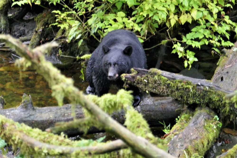 Bear Watching Ketchikan Alaska USA - Lucy Williams Global