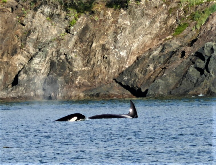Orcas - Must Do Tours in Juneau Alaska - Mendenhall Glacier & Whale Watching - Lucy Williams Global