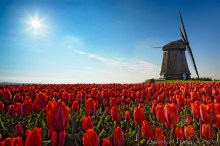 Sun, tulips and windmills