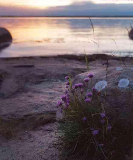 Lila blommor någon meter från vattenbrynet.
