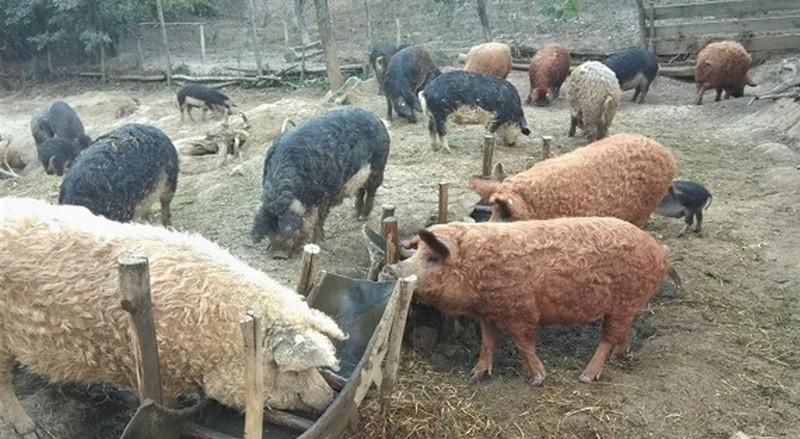 Lugoj Expres Măsuri pentru combaterea infecției cu pesta porcină suine porci pestă porcină măsuri Lugoj infecție combaterea pestei porcine