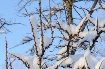 tyrni talviasussa