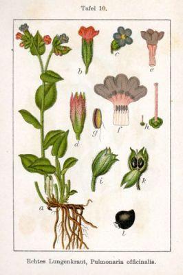 Pulmonaria officinalis L.