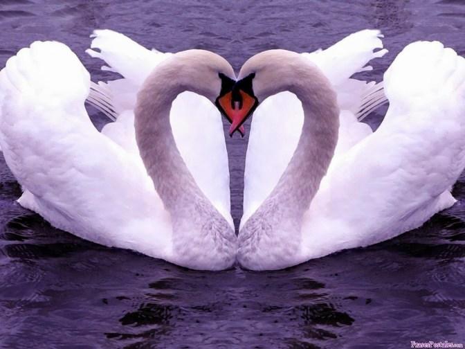 amor (Cisnes)