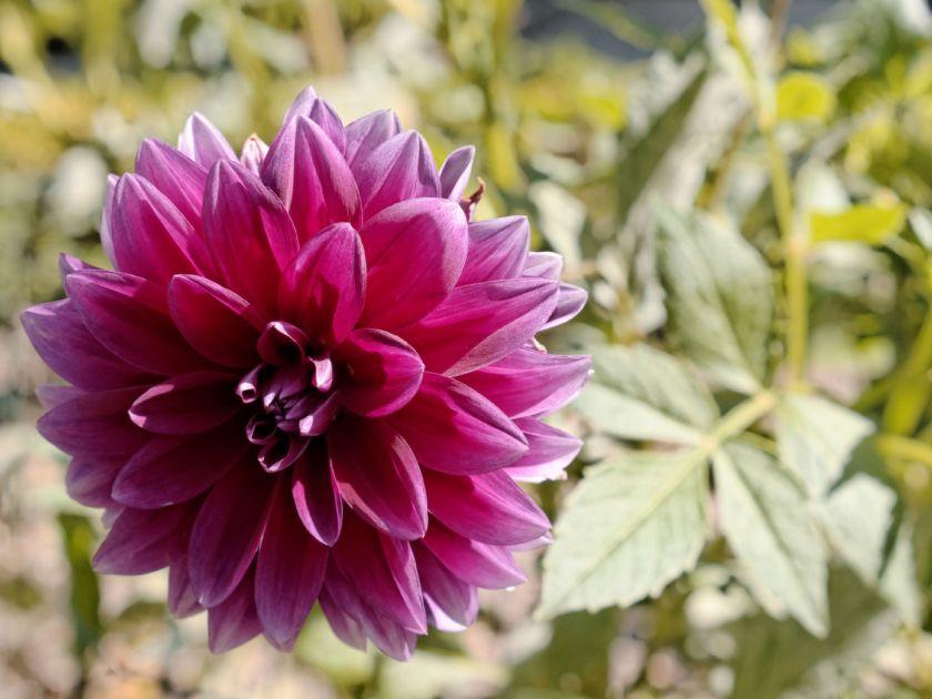Dalia violeta. Artículo sobre el Real Jardín Botánico de Madrid. Fotografía de Luis F. Roncero.