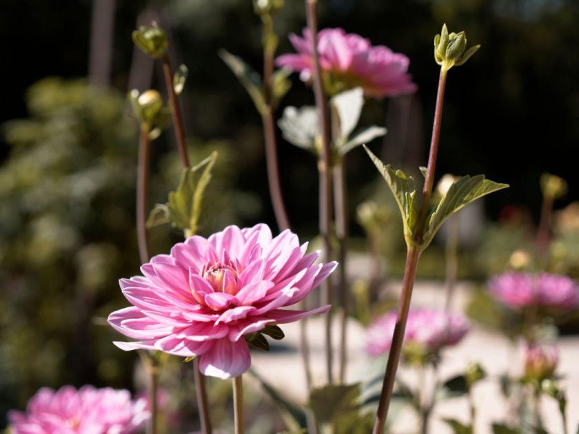 Dalias rosas. Artículo sobre el Real Jardín Botánico de Madrid. Fotografía de Luis F. Roncero.