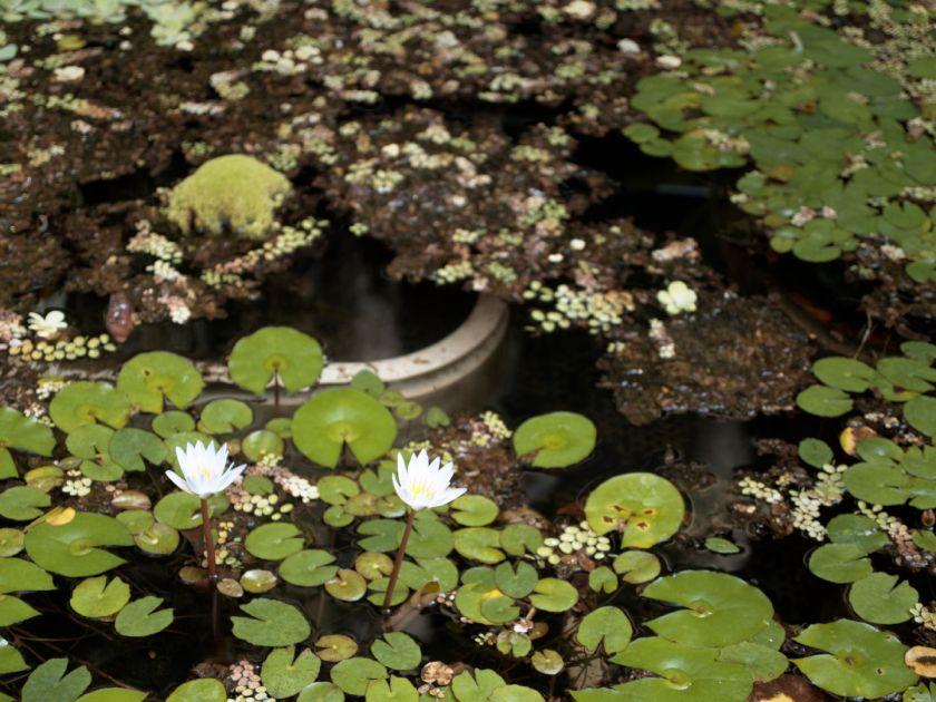 Nenúfares, flores y plantas acuáticas en uno de los invernaderos. Artículo sobre el Real Jardín Botánico de Madrid. Fotografía de Luis F. Roncero.