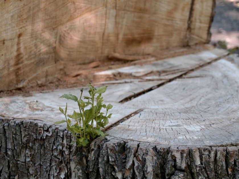 Planta brotando de un tocón de madera. Artículo sobre el Real Jardín Botánico de Madrid. Fotografía de Luis F. Roncero.