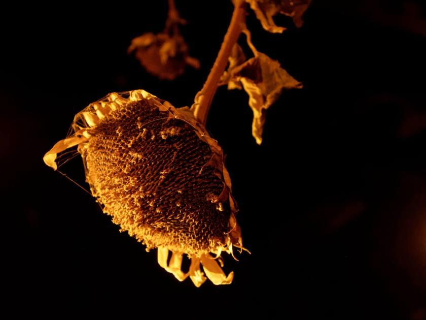 Un girasol colgado en una nave oscura iluminado por un foco. Agostamiento: una instalación de arte del colectivo Basurama para el programa Abierto x Obras de Matadero Madrid. Fotografía de Luis F. Roncero.
