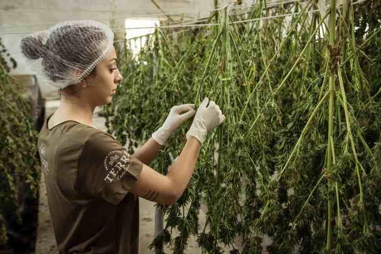 cannabis dejar de fumar marihuana 3
