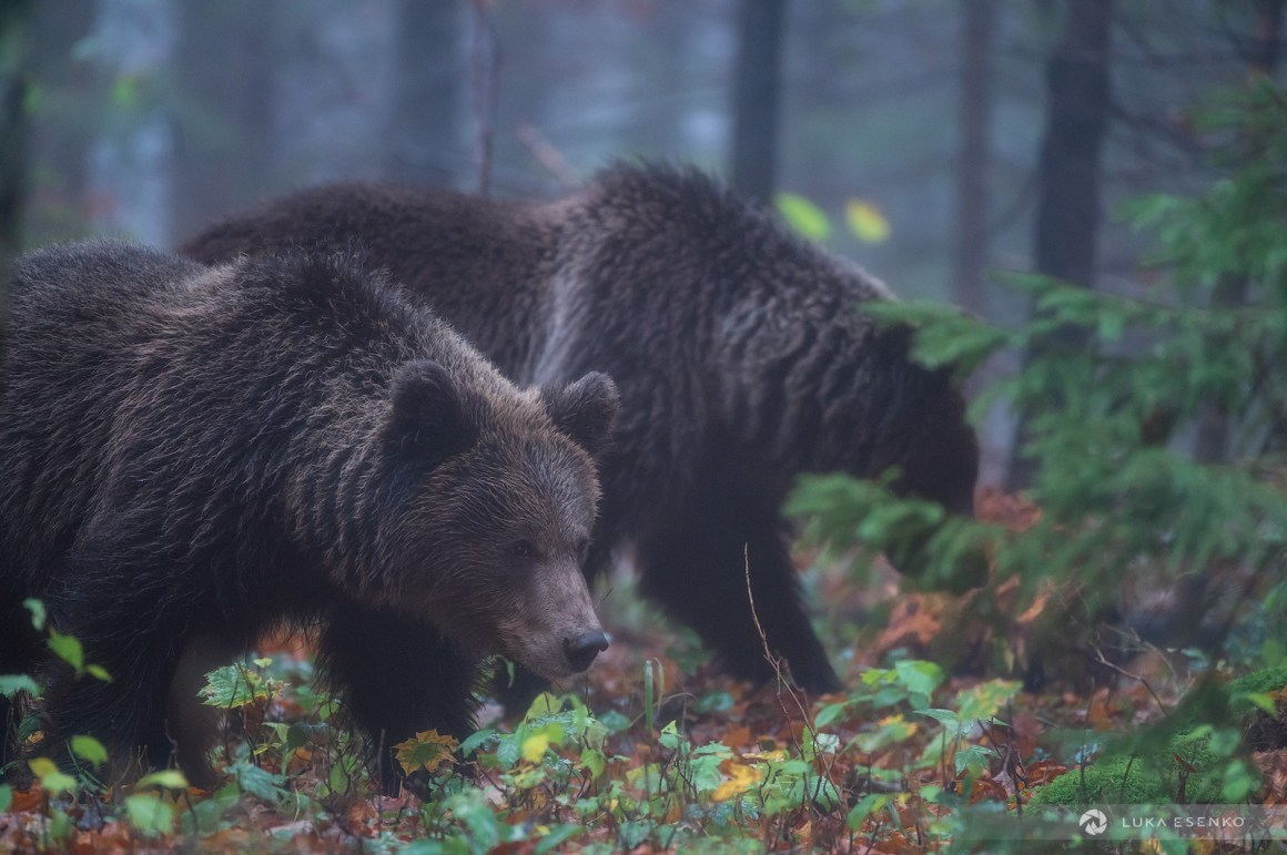 Wild brown bears in Slovenia