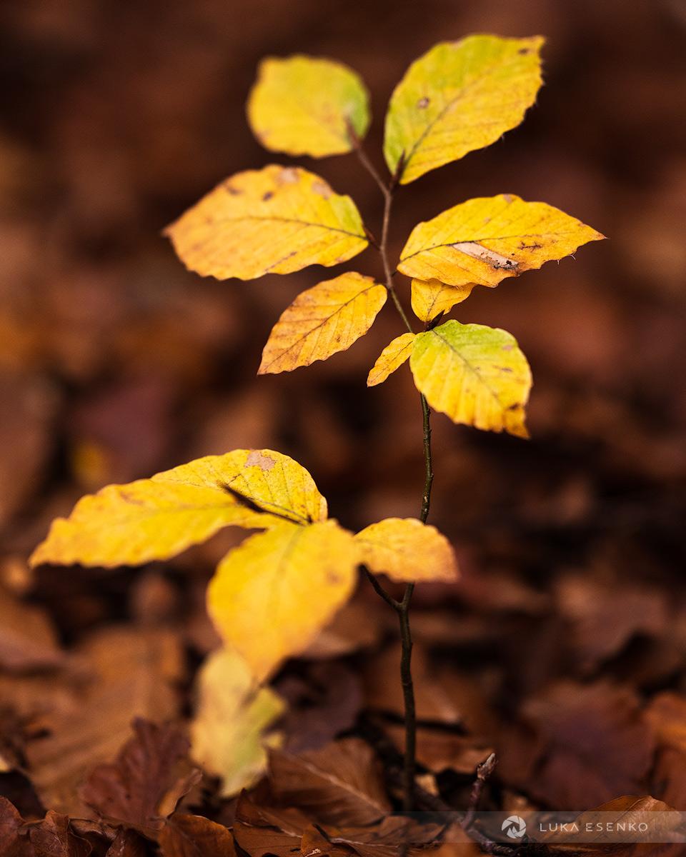 Beech sapling in autumn