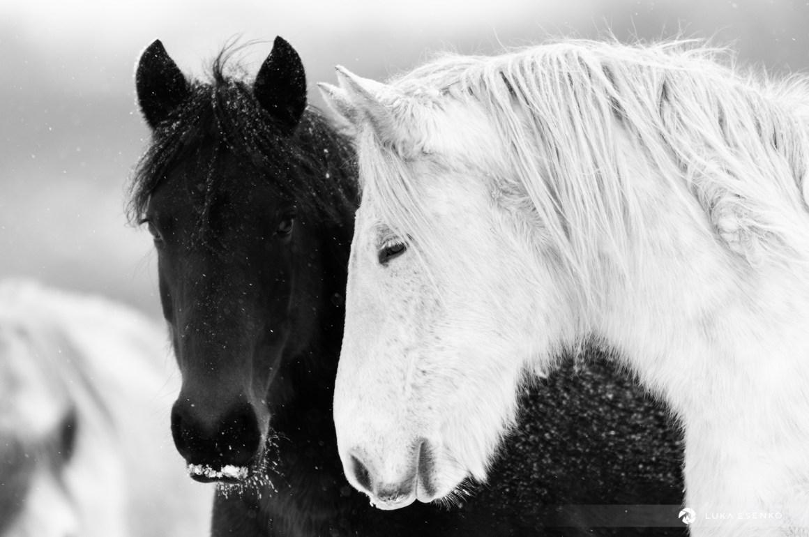 Wild horses in Bosnia-Herzegovina