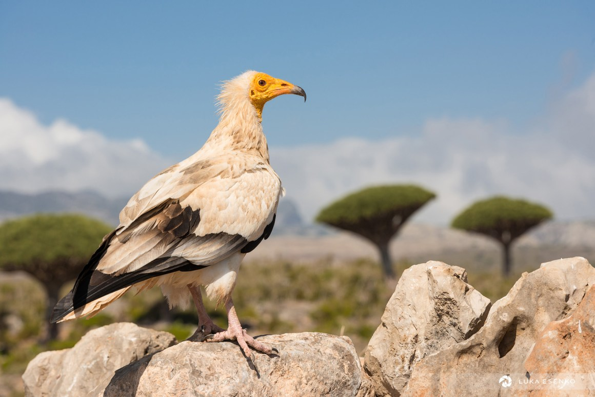 Egyptian Vulture and Dragon Blood Trees